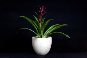 Bromeliad In Stone Pot