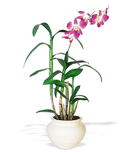 Dendrobium Potted Orchid