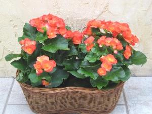 Double Blooming Begonia Basket