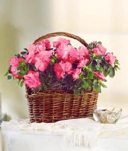 Flowering Azalea Plant