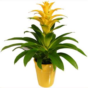 Flowering Gift Plant