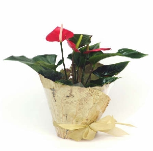 Flowering Plant - Anthurium