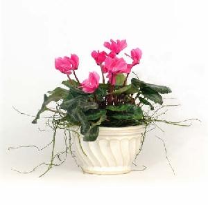 Flowering Plant - Cyclamen