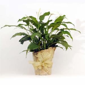 Flowering Plant - Spathiphyllum