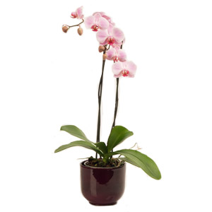 Orchid In A Ceramic Pot