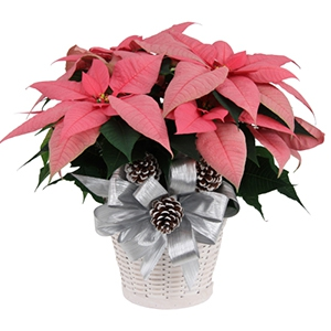 Pink Poinsettia