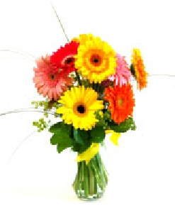 Gerbera Splash