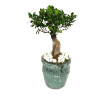 Large Bonsai Tree