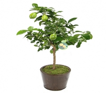 Large Lemon Tree In A Pot