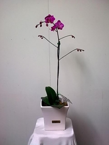 Phalaenopsis Orchid In Ceramic