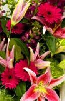 Pink Lily Gerba