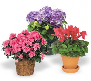 Seasonal Blooming Plant Gift #P420X