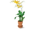 Small Orchid Plant  Tf219-5