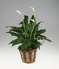 Spathiphyllum Plant In Natural Basket.