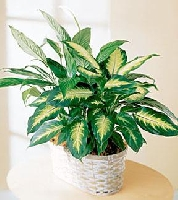 The FTD Spathiphyllum And Dieffenbachia