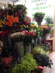 Tulipa Florist