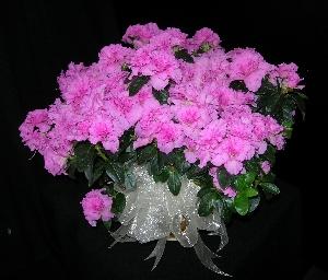 Vibrant Pink Azalea