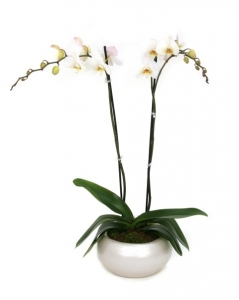 White Phanaelopsis Orchid In The Beautiful Container